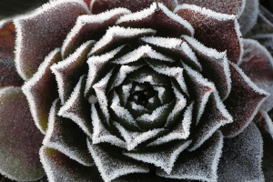 Photo of the frosty leaves of a succulent plant