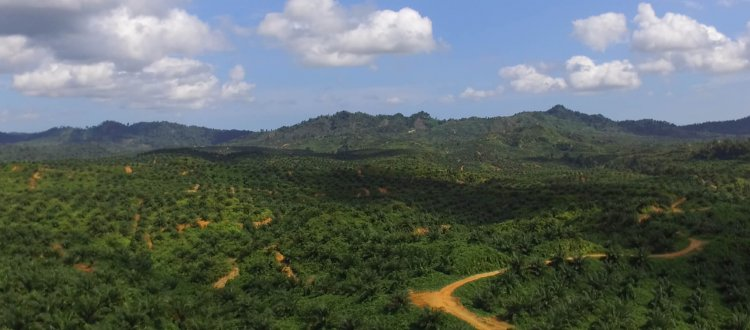 Monocultural palm oil cultivation in Indonesia