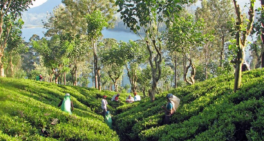 Tea_plantation,_Sri_Lanka